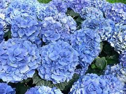 blue hydr